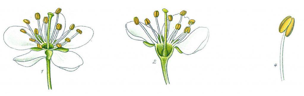 ryto-bargnolino-prugnolo-bacche-fiore-1